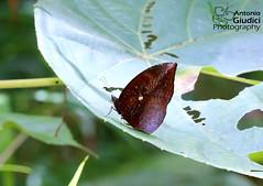 The Pointed Palmfly - หนอนมะพร้าวปีกแหลม