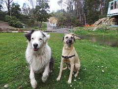 Shepo and Punchkin (Rayya The Vet) Tags: dog canine australianshepherd geriatric dogwalk whippetcross