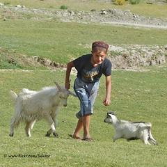 Catching the cattle around Layangar, Wakhan Corridor,  Tajikistan (Sekitar) Tags: boy work cattle corridor goat catching tajikistan calf centralasia pamir langar wakhan tadschikistan pamirhighway gornobadakhshan ljangar kuhistonibadakhshon layangar