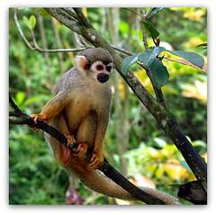 Squirrel Monkey. (cpark188) Tags: animal monkey wildlife picasa safari touristspot squirrelmonkey paintnet riversafari zuiko70300 olympuse620 singaporeriversafari