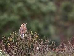 Cochicho (Anumbius annumbi) - Firewood-Gatherer (Carlos Grupilo) Tags: bird canon is watching 7d l usm ef 100400 cochicho urupema grupilo