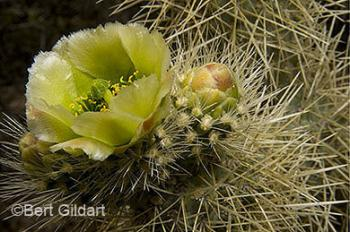 Cholla, now in bloom
