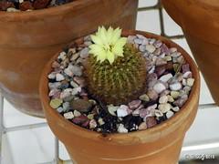Frailea mammifera flower (d h-j) Tags: cactus succulent pottedplant succulents frailea fraileamammifera fraileamammiferaflower