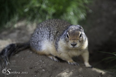 Cute and Round 2 (Serthra) Tags: summer canada cute nature animal rockies wildlife adorable rockymountains groundsquirrel canoneos5dmarkii