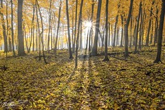 Winter is Coming (Brian Koprowski) Tags: morning trees mist yellow fog forest sunrise illinois maple woods woodlands midwest pentax arboretum fantasy sunburst morton pentaxk5 briankoprowski bkoprowski