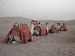 Dubai (KenC1983) Tags: kencrossportfolio dubai uae yahoo:yourpictures=yourbest2014image camel red sand world travel dusk