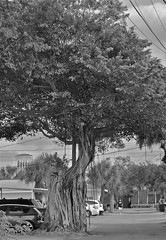 ROOT ON ROUTE (simongavin83) Tags: road wood trees blackandwhite tree leaves wooden florida branches roots bark sarasota crown twigs rooted wooded arboreal arboriculture