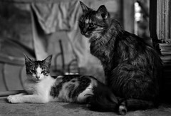 cats (kelly_priscila) Tags: cat 50mm gatos pb animais olhares 0101