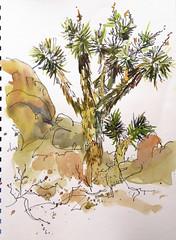 Joshua Tree @ Joshua Tree National Park (suhita1) Tags: california joshuatree roadtrip joshuatreenationalpark urbansketch suhitawatercolorsketch