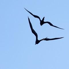 "_DSC6303 two ""Female Magnificent Frigatebird"" (ChanHawkins) Tags: punta april 12 magnificent fernandina fri espinoza ""female pm"" ""galapagos frigatebird"""