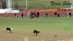 Galgos vs Liebre de nuevo (Amiga ilusin.) Tags: naturaleza pueblo campo animales campeonato zamora carreras caza castillaylen aficin galgos competicin liebres
