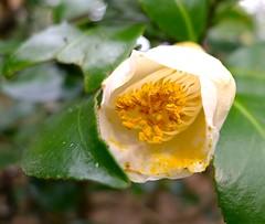 Sasame-yuki:camellia (love_child_kyoto) Tags: winter flower nature kyoto camellia  omg  botanicalgarden     masterphotos   artisticflowers sasameyuki takenwithlove beautifulasalways eperke mindigtopponalwaysontop  lovelyflickr  leicadlux5 dlux5 lovelynewflickr pandaonflickr artofimageasmusic flickrheartgroup closedgroup jan122014