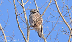 Northern Hawk Owl (fbc57) Tags: birds vermont owls northernhawkowl surniaulula strigidae waterburycenter nikond800 nikon80400gvrii14xtc