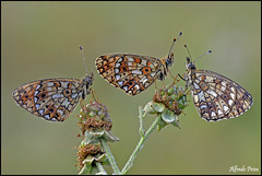 Boloria selene .... trio (alfvet) Tags: macro nikon ngc butterflies natura npc insetti valsesia farfalle sigma150 veterinarifotografi d5100