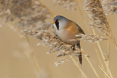Bearded Reedling (Panurus biarmicus) (macronyx) Tags: bird nature birds wildlife birding aves mes birdwatching vogel oiseaux fåglar beardedreedling panurus reedling panurusbiarmicus skäggmes