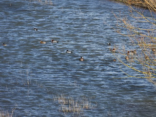 Wgeon on Welney marshes