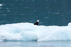 _MG_4527a (markbyzewski) Tags: bird alaska ugly iceberg glacierbaynationalpark