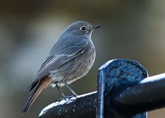 redstart re-visited (blackfox wildlife and nature imaging) Tags: birds wales canon wildlife flint blackredstart