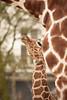 Little Nzuri (7 days old) looking up to her mother Iwana (Kitty Terwolbeck) Tags: baby amsterdam animal newborn giraffe calf dier artis jong iwana reticulatedgiraffe giraffacamelopardalisreticulata netgiraffe somaligiraffe nzuri artisroyalzoo