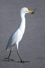 Cattle Egret with an anole