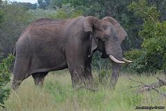 DSC_3372 (Arno Meintjes Wildlife) Tags: africa elephant nature animal southafrica wildlife safari krugerpark africanelephant loxodontaafricana africanbushelephant arnomeintjes