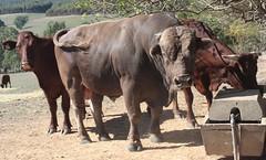 Santa Gertrudis Cows and Braunvieh Bull (JanBran) Tags: animals big cattle cows bull farmanimals santagertrudis braunveih