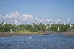 Seagulls (Hugo Alberto Ibarra) Tags: seagulls beach water birds rio vintage river flying agua seagull playa aves parvada gaviotas gaviota vuelo volando