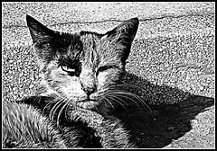 Stealth Cat BW (ronramstew) Tags: street cat agadir morocco killer maroc marruecos marokko feral