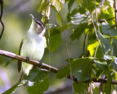 Red-Eyed Vireo (Carolyn Lehrke) Tags: bird nature wv avian vireo wildlive redeyedvireo explored greenbriercounty ronceverte