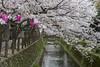 Sakura in Japan (sensibles) Tags: japan petals sakura cherryblossoms hanami kinosakionsen delicatepink