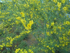 Yellow Palo Verde Tree Blossoms V (time_anchor) Tags: flowers trees plants green yellow gardening landscaping blossoms foliage blooms yellowflowers paloverdetree greenbark fabaceaeparkinsoniamicrophyll paloverdetreeflowers