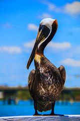 Pelican - Anna Marie (Andy_Goodridge) Tags: sun color colour bird birds animal animals nikon florida pelican annamaria d90 18300mm colorefexpro