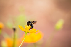 Mamangava (giovani.frederico) Tags: flowers flores fauna canon flora bee bumblebee abelha efs cosmos mamangava 55250 t5i