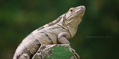 Ctenosaura quinquecarinata (Bernal Saborio G. (berkuspic)) Tags: nature costarica reptile wildlife iguana tropicalrainforest garrobo spinytailiguana
