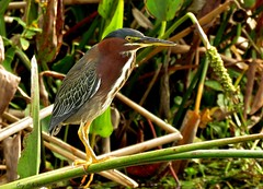 Green Heron (Gary Helm) Tags: camera fish bird nature water birds canon outside fly wings florida wildlife flight mice trail swamps frogs common lure anthropods marshes polkcounty greenheron greenbackedheron yearround fethers circlebbarreserve marshrabbitrun sx60hs ghelm4747 garyhelm