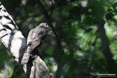 Shikra (Accipiter badius) (Tstudioz) Tags: birds camoflage birdsofprey forestreserve illusive shikra srilankawildlife nikond90 srilankabirds bodhinagala amazingsrilanka tstudioz