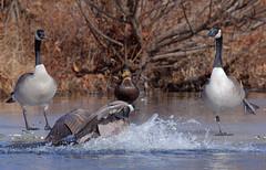 Get Outta My Way! (Edward Arthur) Tags: water birds outdoors duck pond wildlife flight goose canon6d ef1004004556ii