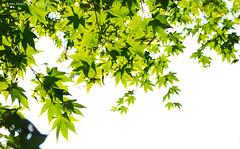maple leaf (gwnam.2008) Tags: park tree green nature daylight leaf maple korea urbannature greenery incheon    nx11