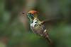 Frilled Coquette (Lophornis magnificus) male (PeterQQ2009) Tags: brazil male birds blueribbonwinner frilledcoquette lophornismagnificus topetinhomagnífico