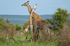Giraffes (Giraffa camelopardalis) (berniedup) Tags: southafrica giraffe kruger giraffacamelopardalis lowersabie taxonomy:binomial=giraffacamelopardalis