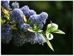 Last of spring blues! (macfudge1UK) Tags: uk greatbritain england plant flower nature spring bush flora nikon europe natur gb coolpix bloom blooms shrub ceanothus oxfordshire oxon 2016 fantasticflower allrightsreserved p610 variegatedceanothus nikoncoolpixp610 coolpixp610