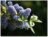 Last of spring blues! (macfudge1UK) Tags: uk greatbritain england plant flower nature spring bush flora nikon europe natur gb coolpix bloom blooms shrub ceanothus oxfordshire oxon 2016 fantasticflower ©allrightsreserved p610 variegatedceanothus nikoncoolpixp610 coolpixp610