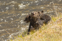 Hell no we won't go {Explored} (ChicagoBob46) Tags: cub yellowstonenationalpark yellowstone cubs grizzly grizz grizzlybear
