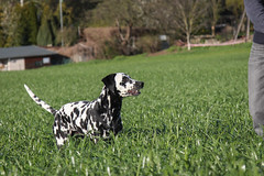 Mit Herrchen Spa haben (blumenbiene) Tags: dog white playing black game dogs female walking fun meadow wiese hund schwarz dalmatian hunde spaziergang spielen dalmatiner weis hndin