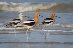 Baywatch (gseloff) Tags: bird beach surf texas wildlife americanavocet galvestoncounty houstonaudubonsociety gseloff bolivarflatsshorebirdsanctuary