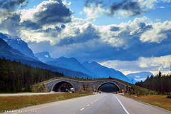 Wildlife Overpass on the Bow Valley Parkway (Samantha Decker) Tags: canada ab alberta rockymountains banffnationalpark parkscanada canadianrockies bowvalleyparkway canonef24105mmf4lisusm canoneos6d samanthadecker