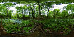Woodland Phlox (Matt Champlin) Tags: home woodland spring woods wildflowers ricoh vr spherical pristine 360degrees 2016 equirectangular woodlandphlox 360degreeimage ricohthetas
