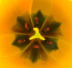 Tulpe (japankatze) Tags: makro tulpe