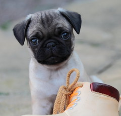 Butter wouldn't melt..... (Toff Photography) Tags: puppy pug