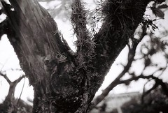 Texture #universidadedesaopaulo #saopaulo #canon #ilford #ae... (gunaydemirci) Tags: tree film 35mm canon saopaulo ae1 lichen ilford 35mmphotography universidadedesaopaulo uploaded:by=flickstagram instagram:photo=1256836575816419853289449193